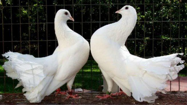 Парование голубей