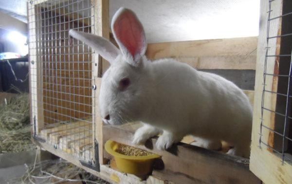 Белый великан кролик