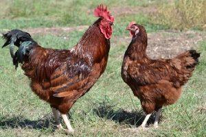 Род-айленд: порода кур, описание