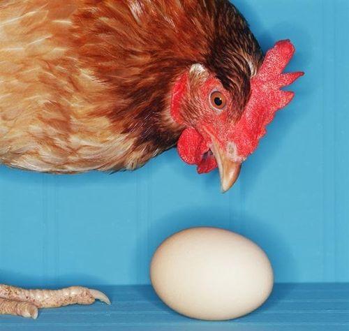 У курицы выпал яйцевод: что делать?