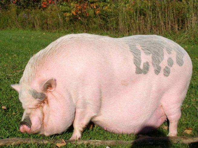 Беременность у свиньи