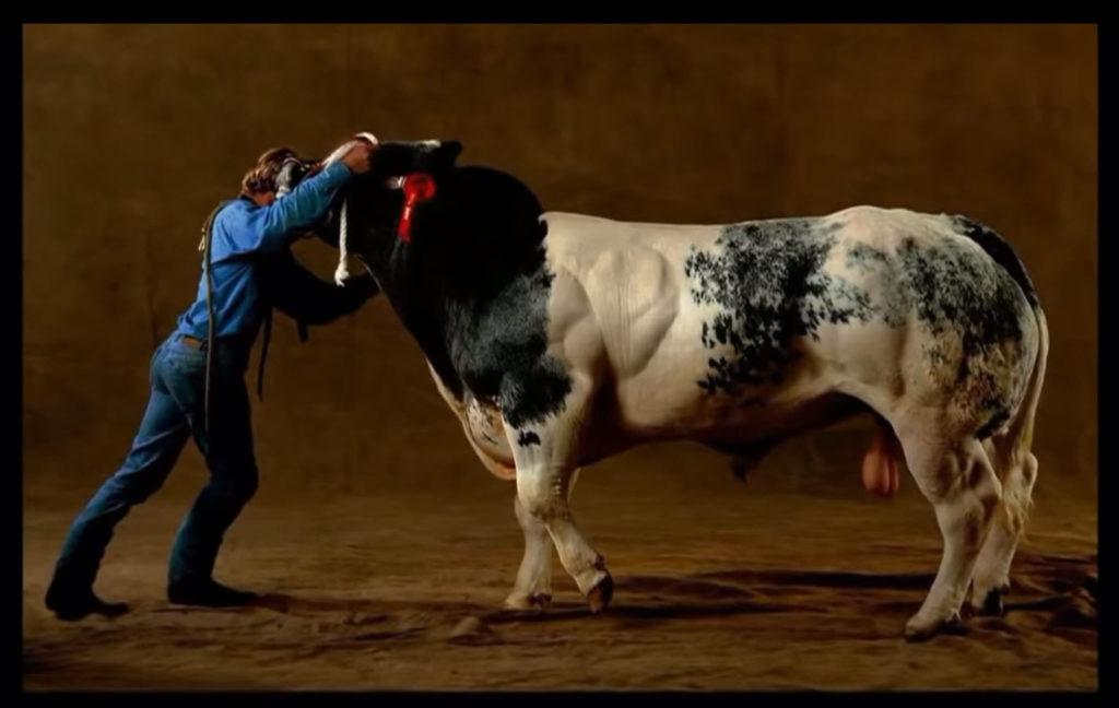 Бельгийская голубая корова фото