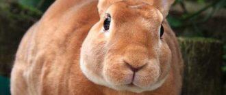 Кролики породы Рекс. Как содержать, лечить и разводить