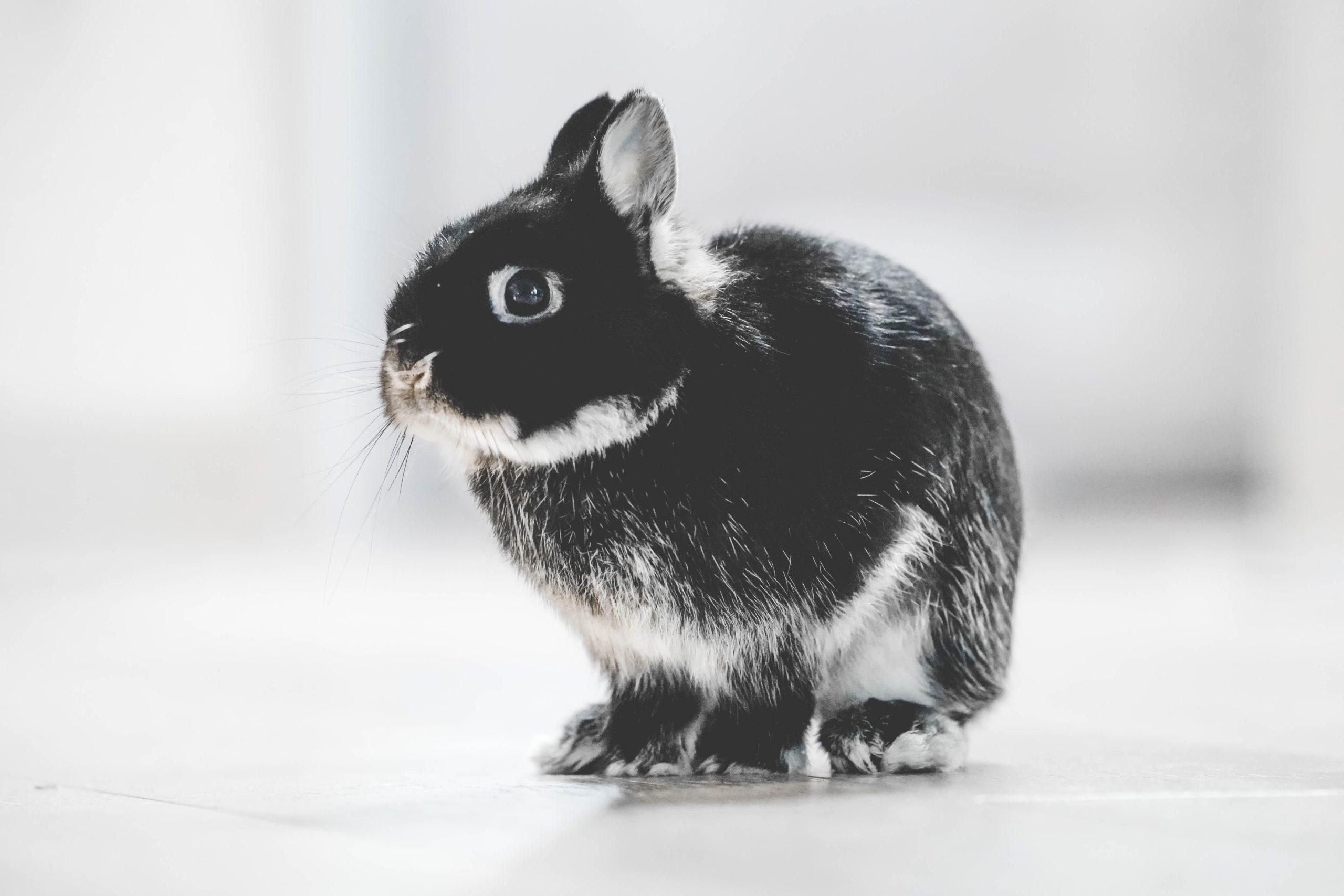 Декоративный кролик. Уход и содержание