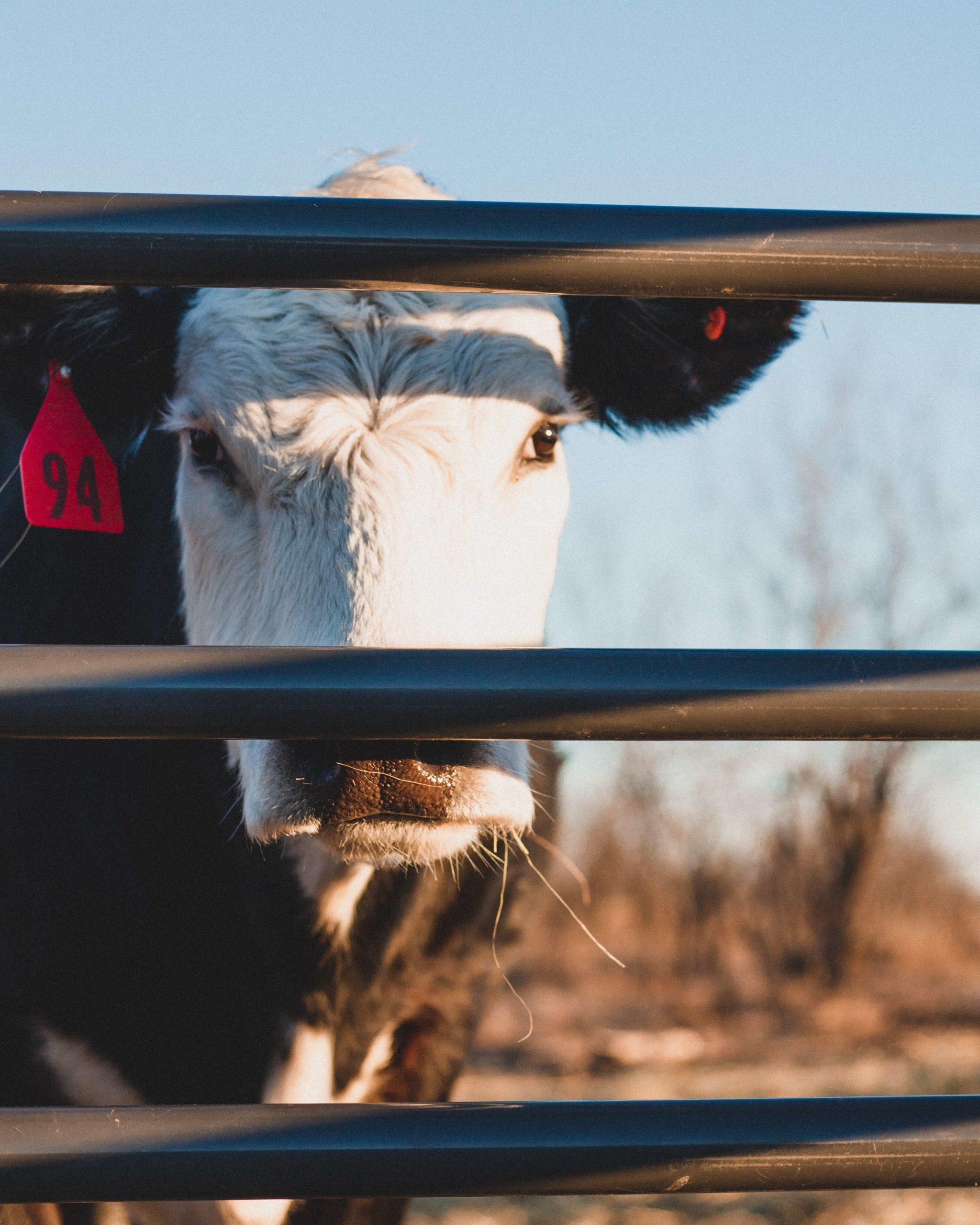 Почему горчит коровье молоко