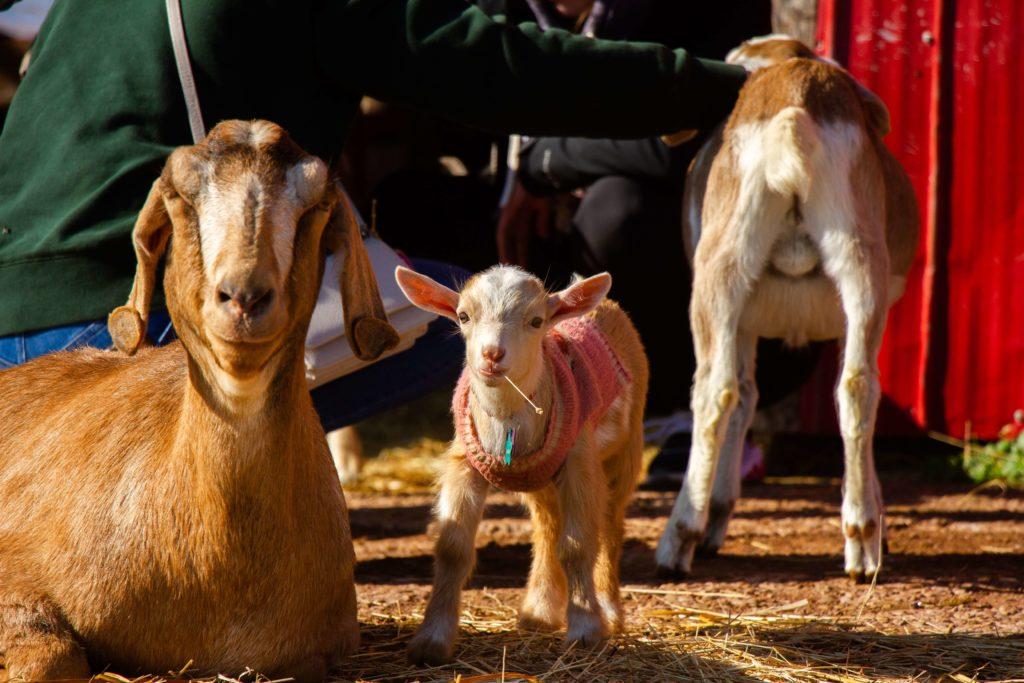 Как выглядит нубийская порода коз. Описание и особенности