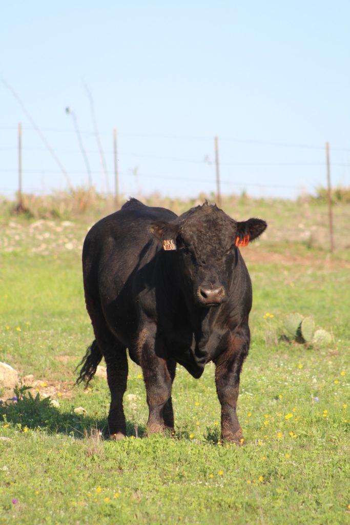 Абердин ангусская порода коров характеристика фото
