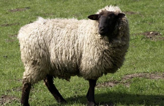 Горьковская овца