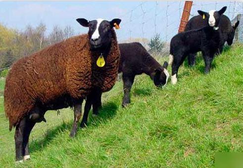 Овцы породы Цвартблес