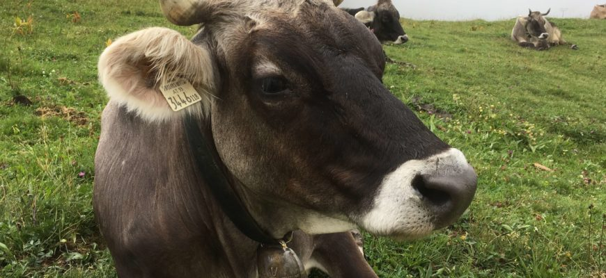 Как определить стельность коровы