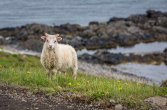 что едят бараны и овцы