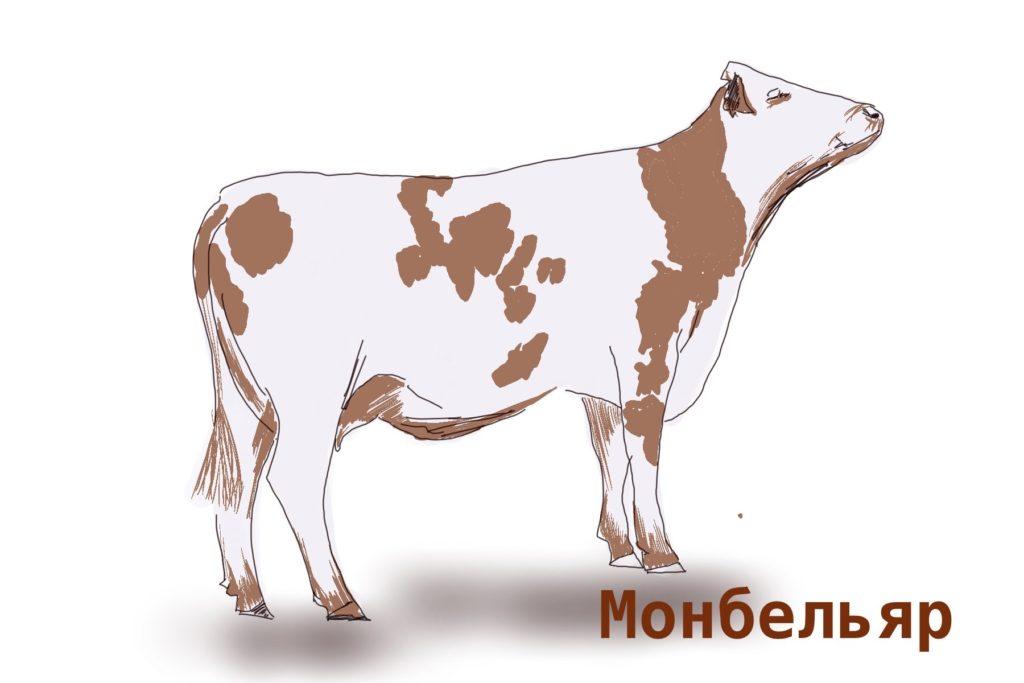 Монбельяр порода коров