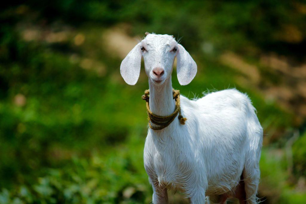 Сколько гуляет коза