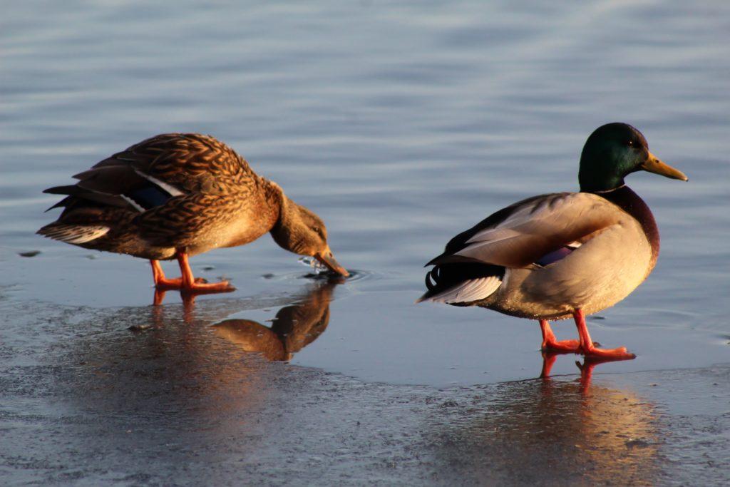 Все про породу Башкирская утка: условия разведения и чем отличается от остальных
