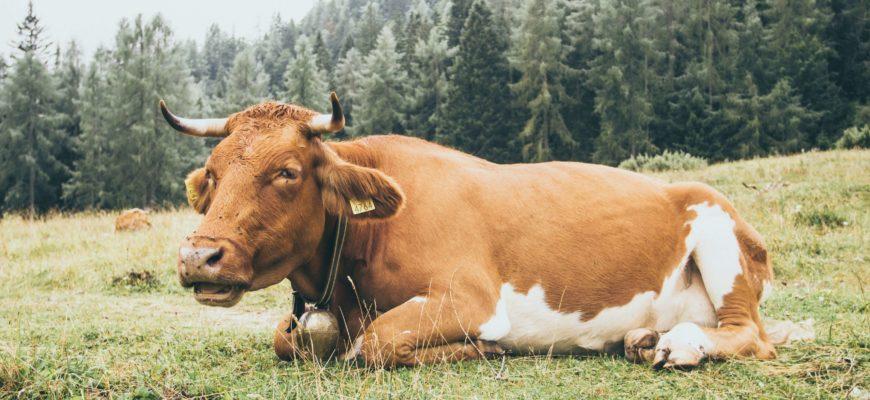 Лечение эндометрита у коров