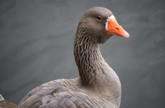 крупная порода гусей
