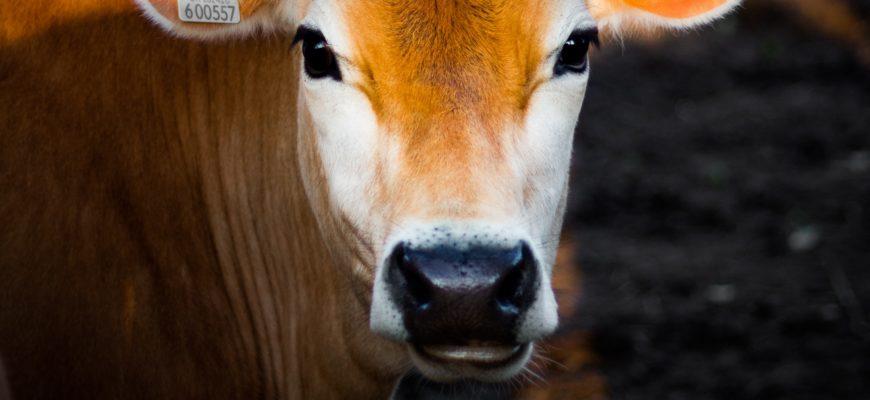 антибрык для коров
