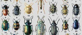 Насекомые - жуки
